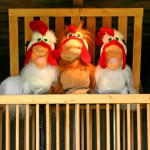 kraay-chickens